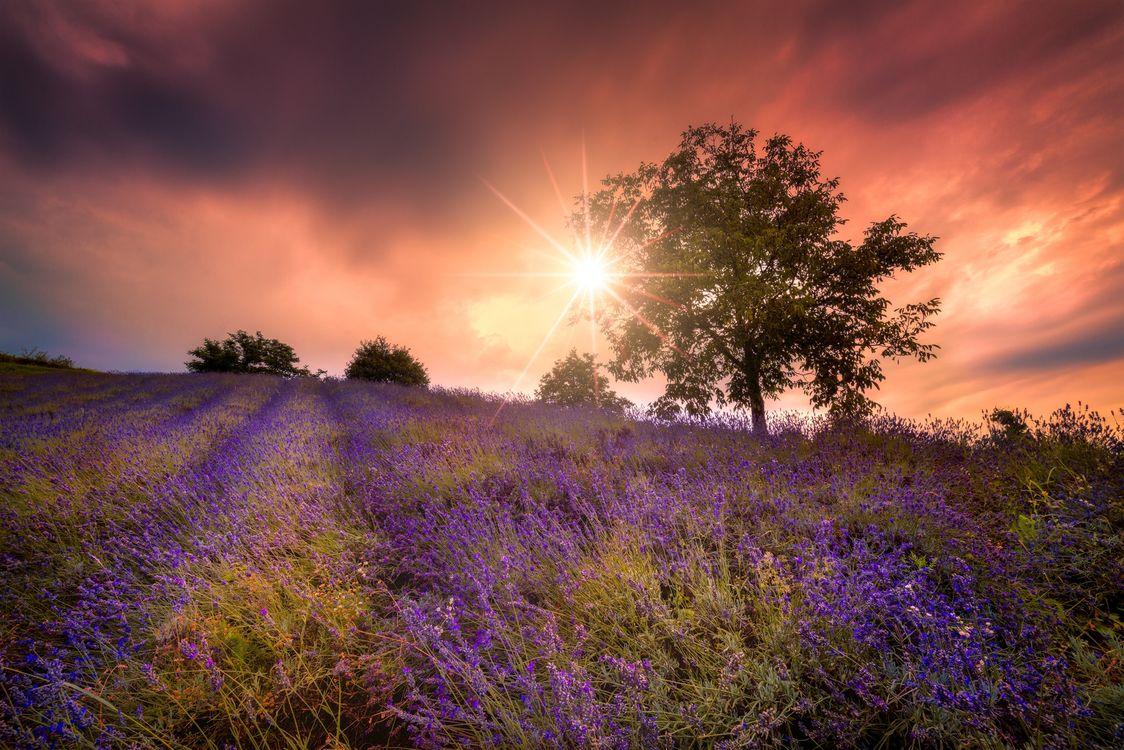 Фото бесплатно закат, поле, дерево, цветы, лаванда, природа, пейзаж, пейзажи - скачать на рабочий стол