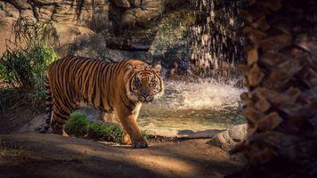 Photo free big cat, tiger, waterfall