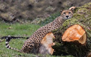 Бесплатные фото cheetah,гепард,взгляд