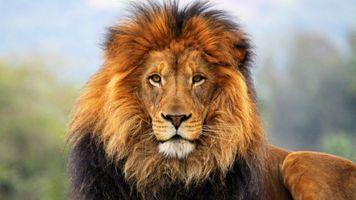 Photo free lion, look