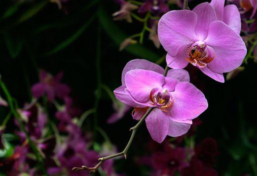 Фото бесплатно флора, орхидеи, цветок