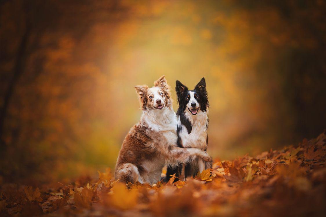 Обои Бордер-колли, собаки, осень картинки на телефон