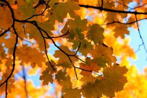 Фото бесплатно кленовые листья, осень, ветки, листопад