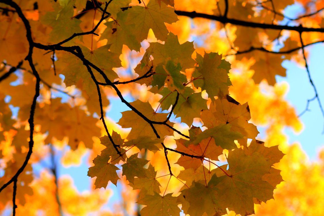 Фото бесплатно кленовые листья, осень, ветки - на рабочий стол