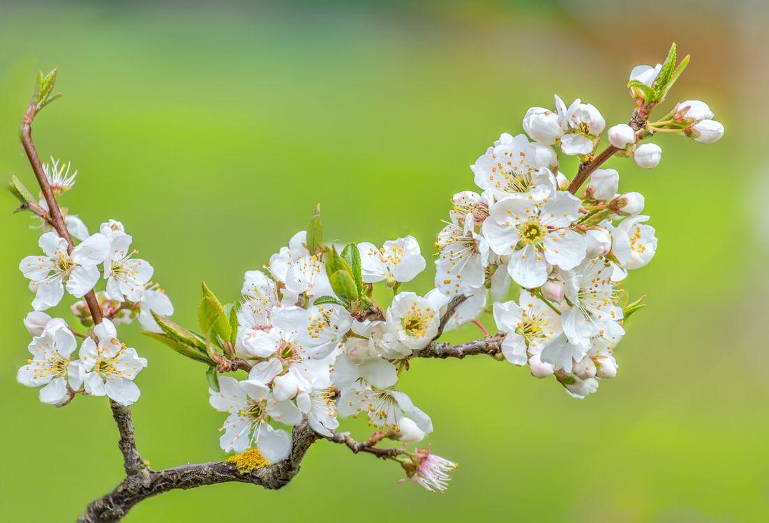 Цветущая вишня фото дерева · бесплатное фото