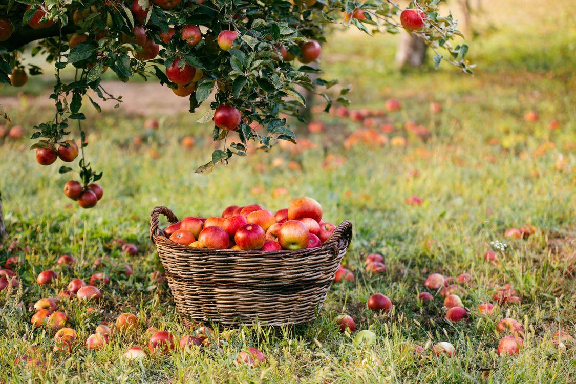 Фото бесплатно яблоня, яблоки, плоды - на рабочий стол