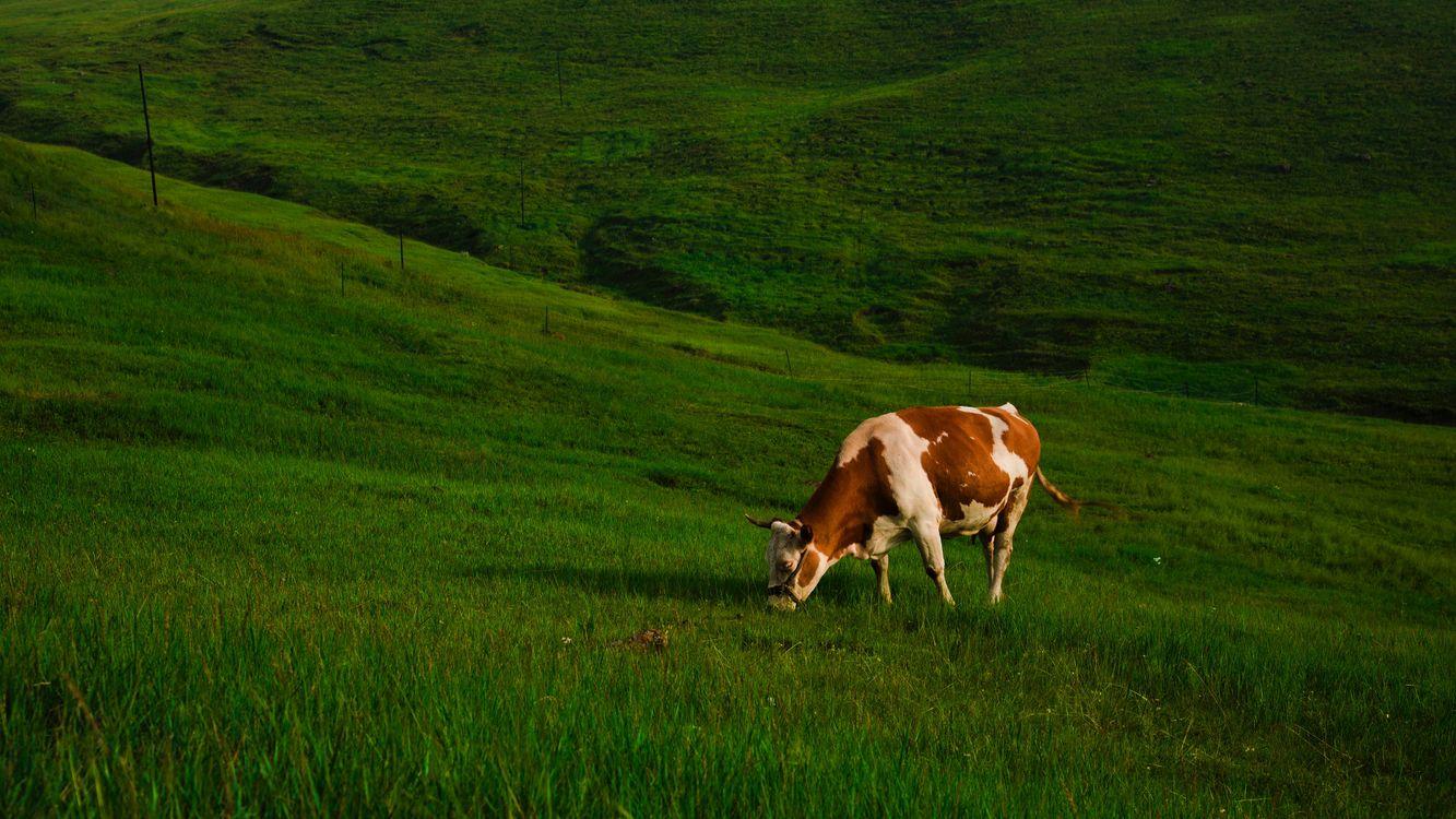Картинки луг с коровами