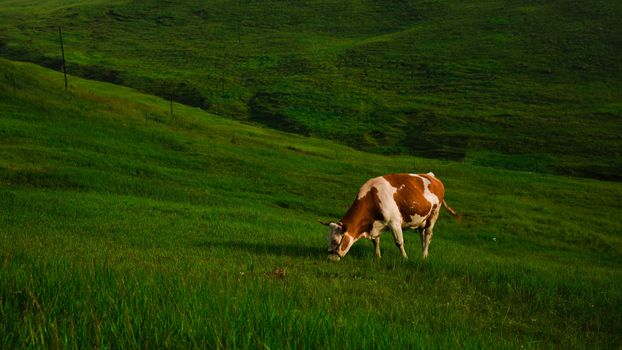 A cow grazes in a meadow · free photo