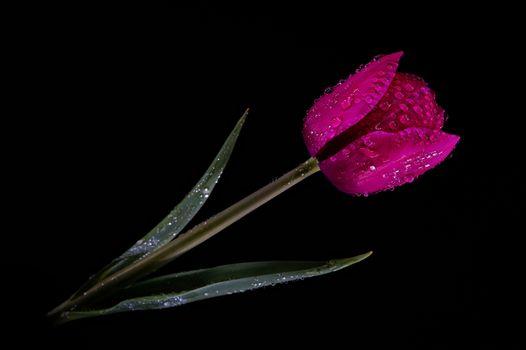 Фото бесплатно цветок, тюльпана, капли