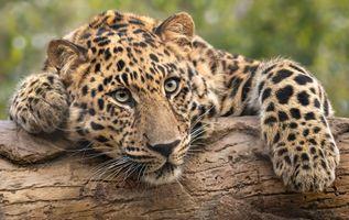 Уставший леопард на бревне