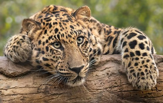 Tired leopard on a log - free photo