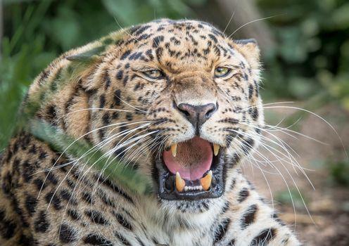 Photo free Leopard, snarl, leopard