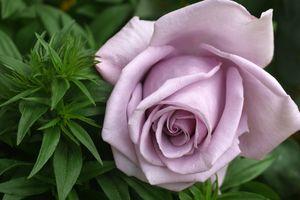 Заставки цветение, флора, розы