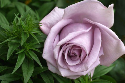 Бесплатные фото роза,розы,цветок,цветы,цветение,флора