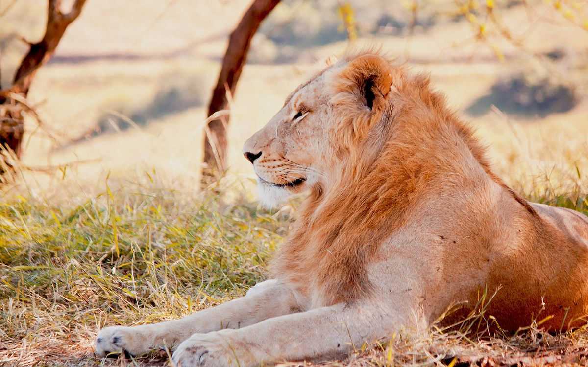 Старый лев, пенсионер · бесплатное фото