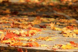 Фото бесплатно клен, тротуар, осень, листопад