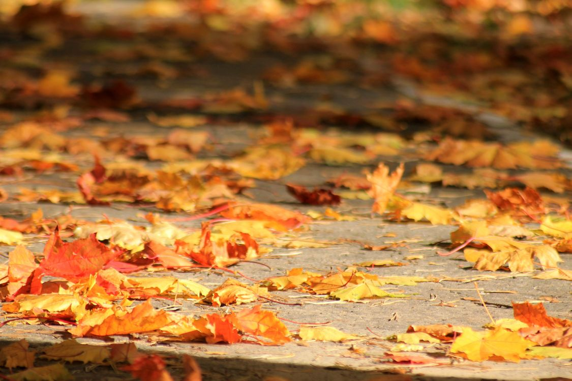 Фото бесплатно клен, тротуар, осень, листопад, природа