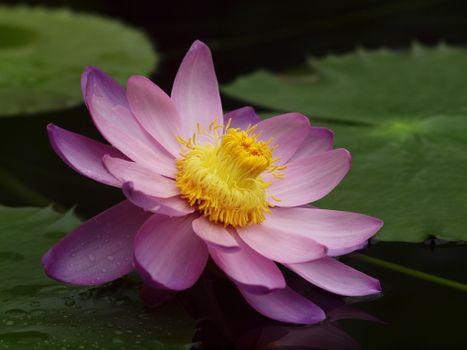 Бесплатные фото Lotus,водоём,лотос,цветок,флора