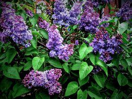 Бесплатные фото сирень,цветы,ветка,макро,флора