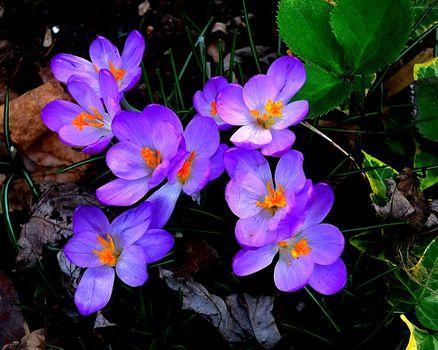 Фото бесплатно цветы, цветение, крокус