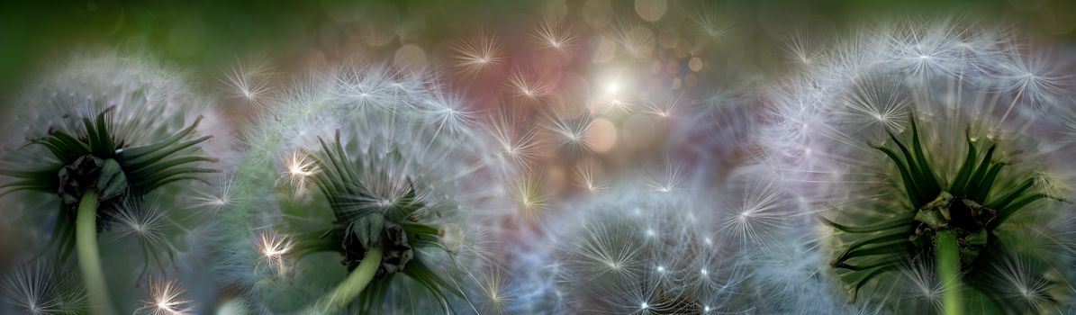 Фото бесплатно панорама, цветочная композиция, одуванчик