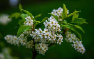Фото бесплатно черёмуха, дерево, макро, цветы, ветки, весна