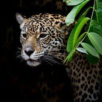 Заставка животное, леопард на рабочий стол бесплатно