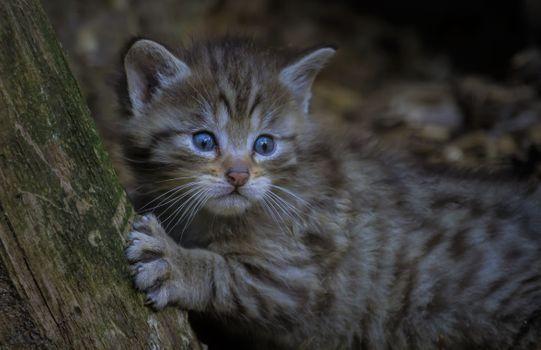 Photo free Small European wild cat, kitten, face
