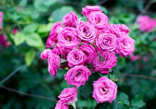 Заставки розы, роза, цветы