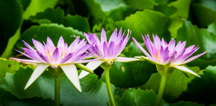 Цветущая лилия
