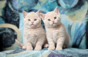 Фото бесплатно Котята, кошки, British Shorthair