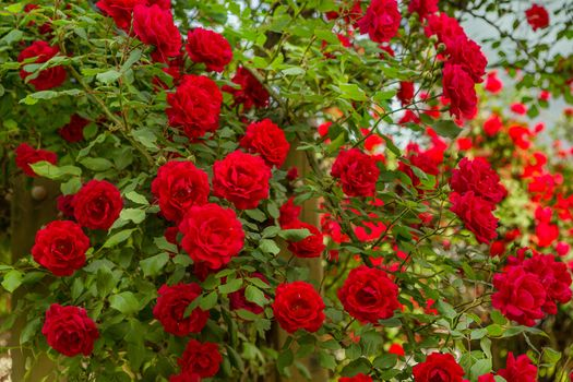 Photo free roses, flowers, shrubs