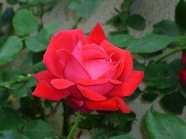 Фото бесплатно цветок, роза, розовая семья