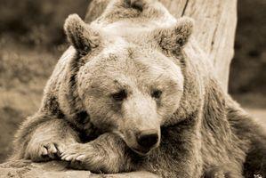 Заставки смотрите, гризли, медведь