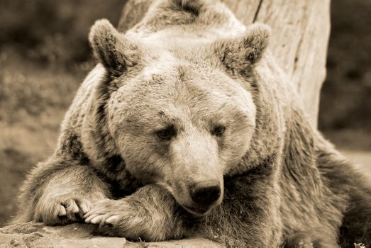 Photo free look, Grizzly, bear
