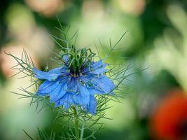 Фото бесплатно nigella, цветок, флора