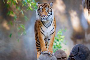 Фото бесплатно смотри, тигр, животные