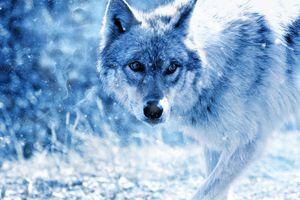 Фото бесплатно волк, хищник, взгляд