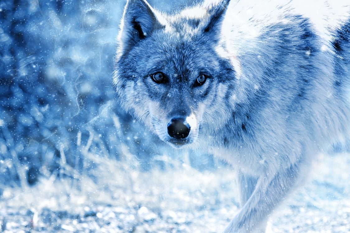 Free photo wolf, predator, view - to desktop