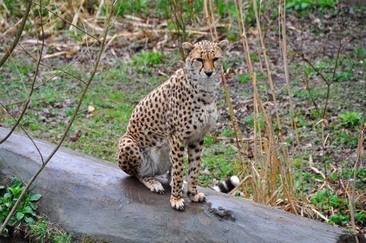 Бесплатные фото Cheetah,гепард,на старом,поваленном,дереве,Chester Zoo,England,United Kingdom