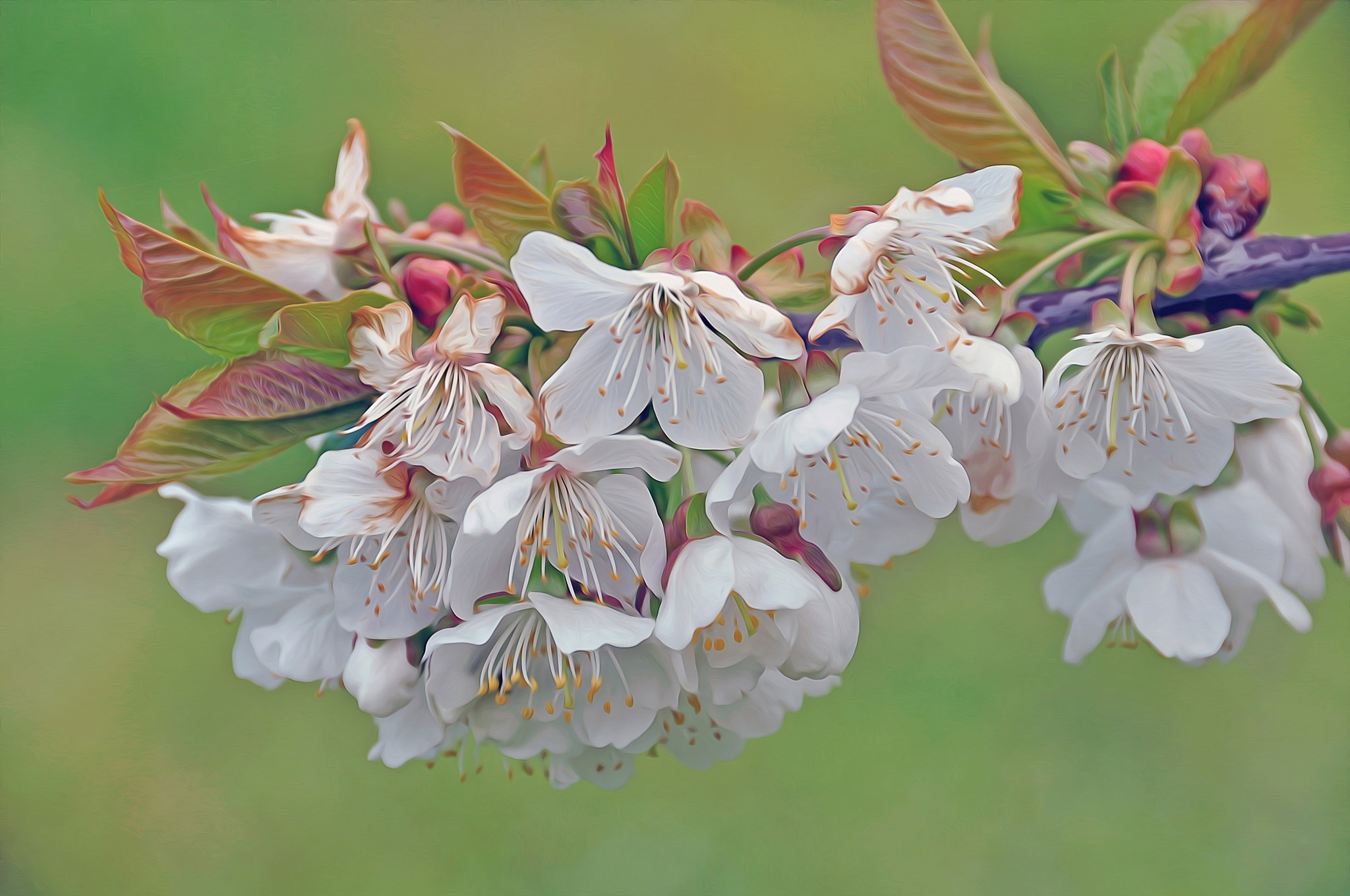 нем фото цветущих веток вишни освещение