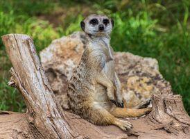 Бесплатные фото meerkat,на поваленном дереве,suricate,suricata,suricatta,сурикаты,сурикат