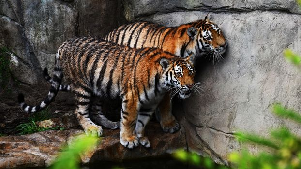 Two tigers after swimming · free photo