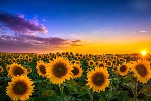 Обои закат,поле,подсолнухи,цветы,пейзаж