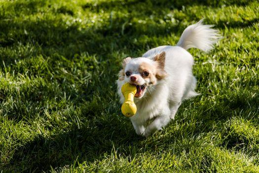 Заставки чихуахуа, игривый, собаки