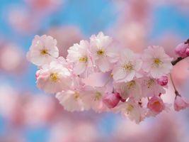 Фото бесплатно флора, Sakura Bavariae, цветы