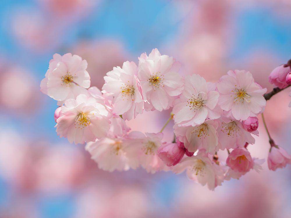 Фото бесплатно цветущая ветка, цветы, весна, цветение, флора, макро, Sakura Bavariae - на рабочий стол