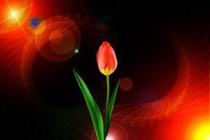 Photo free bouquet, tulips, flora