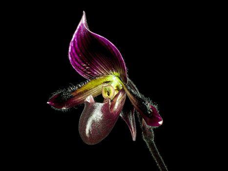 Paphiopedilum Maudiae Coloratum Orchid