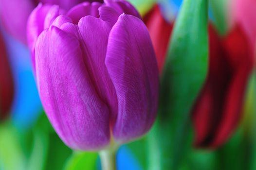 Красивые обои цветок, тюльпаны